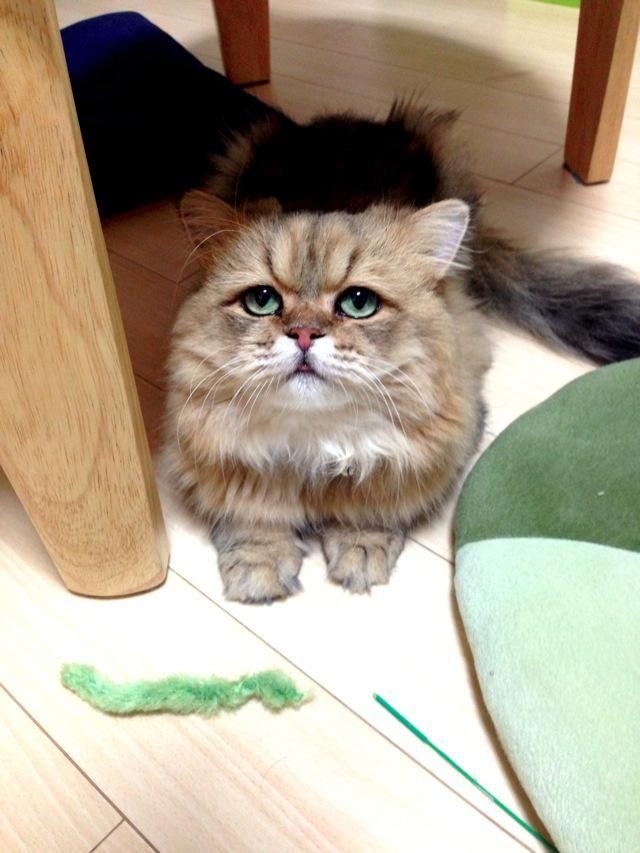 Фу-Чан - самый расстроенный кот в интернете