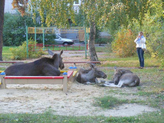 Лосиха с детьми на детской площадке