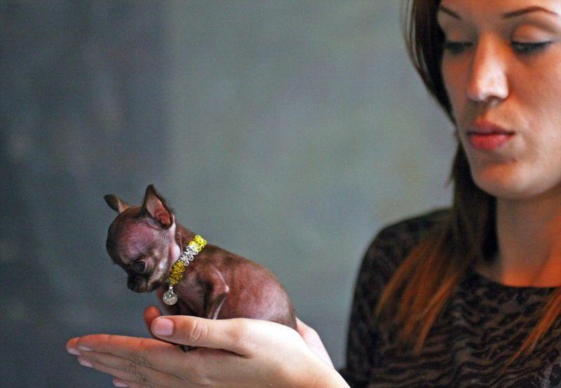 Самая маленькая в мире собачка легко умещается в женской ладони