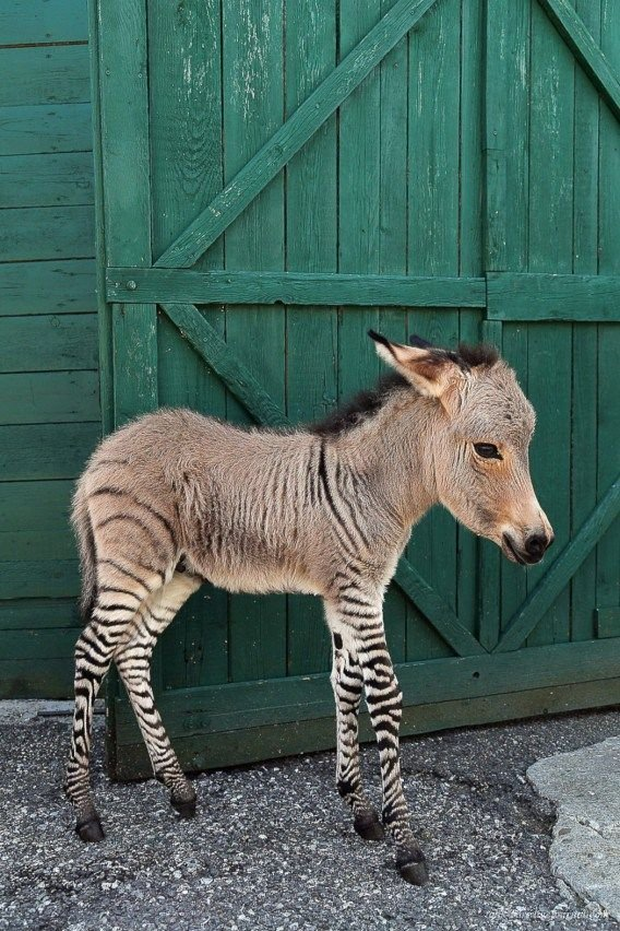 Малыш Иппо - первый в мире зебросел