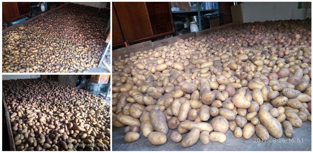Собрали урожай картошки с 2-х соток огорода
