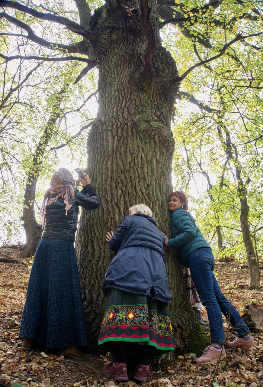 лес реликтовый старый большой широкий дуб обнимать