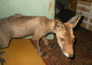 Жительница Сахалина приютила у себя лысого лиса