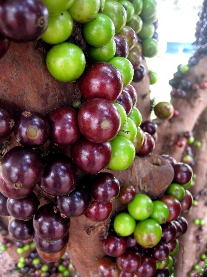 Жаботикаба – дерево с плодами, растущими из ствола