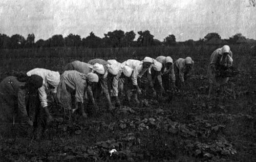 Сбор урожая огурцов в колхозе им. 1 мая, Хорольский район Полтавской обл., 1933 г.