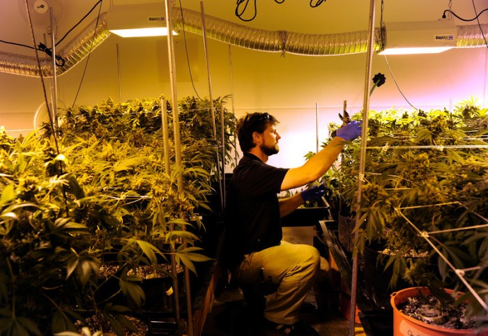 Как выращивают коноплю под лампой марихуана где ее можно курить