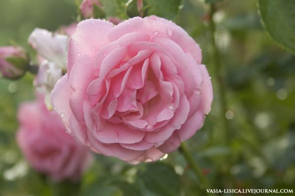 Розы (6).jpg