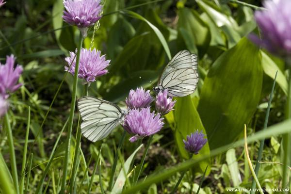 бабочки Боярышница