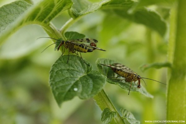 Скорпионницы
