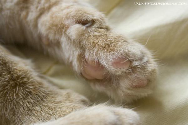 Лапа рыжего кота