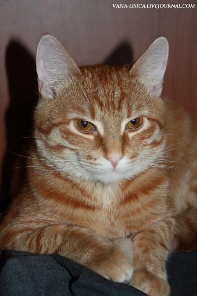 Рыжий кот Шерхан