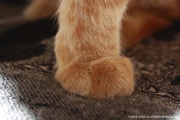 Лапы рыжего кота