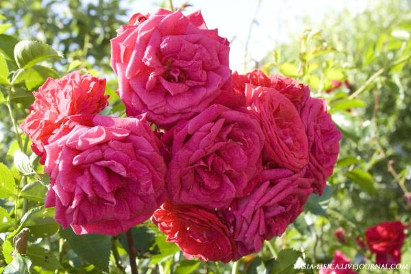 Красная Садовая Роза