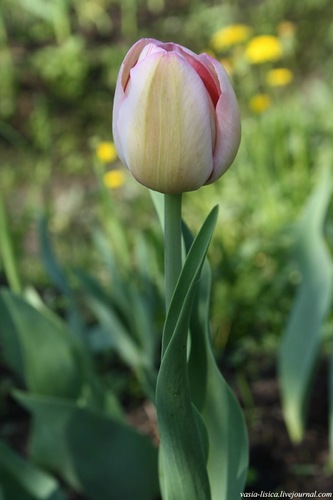 тюльпаны (3)