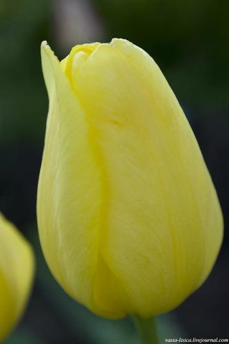 тюльпаны (13)