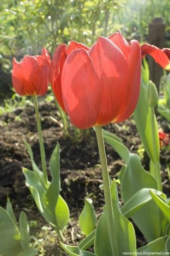 тюльпаны (17)