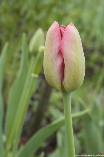 тюльпаны (21)