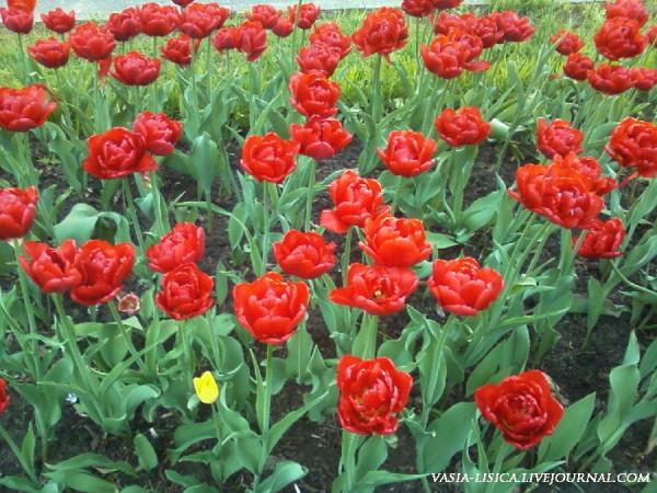 Рыбинск, тюльпаны