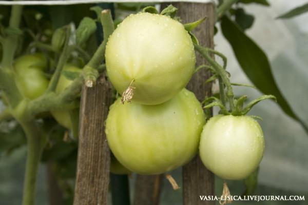 перцы-помидоры-баклажаны (2)