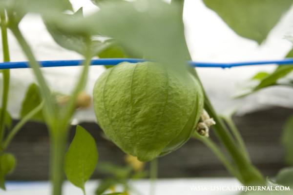 перцы-помидоры-баклажаны (4)