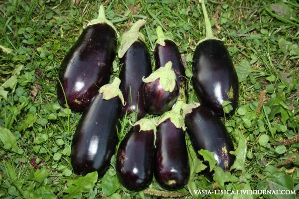 перцы-помидоры-баклажаны (7)