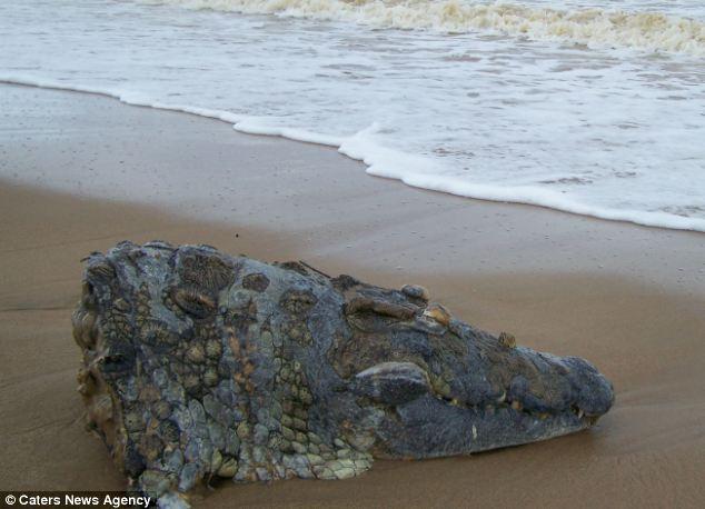 Крокодил умер на гильотине