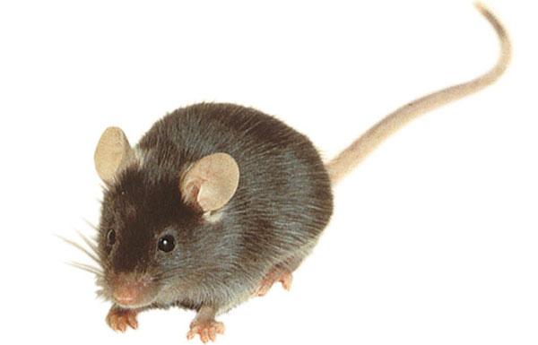 Картинки мышь полевая