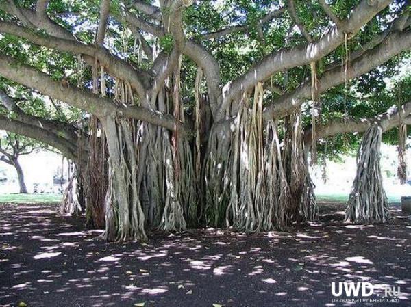 Дерево баньян.