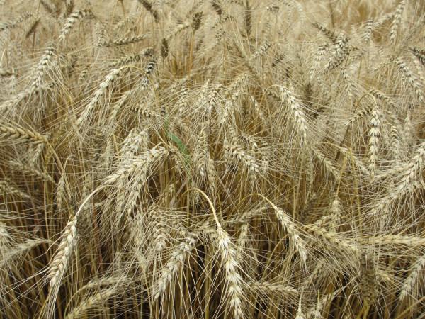 Золотая пшеница.