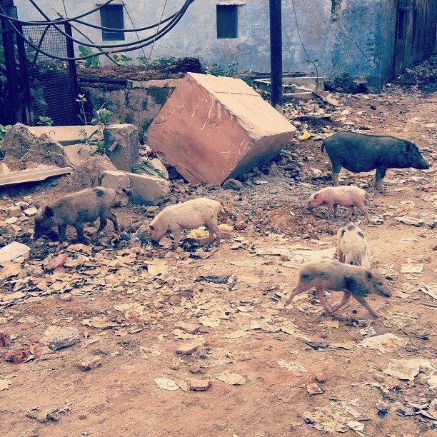 Животные на улицах Индии