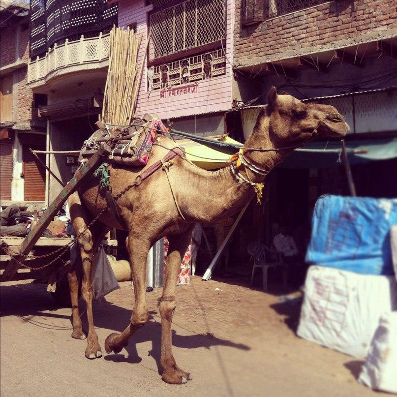 Верблюды в Индии - не только животное, но и средство передвижения