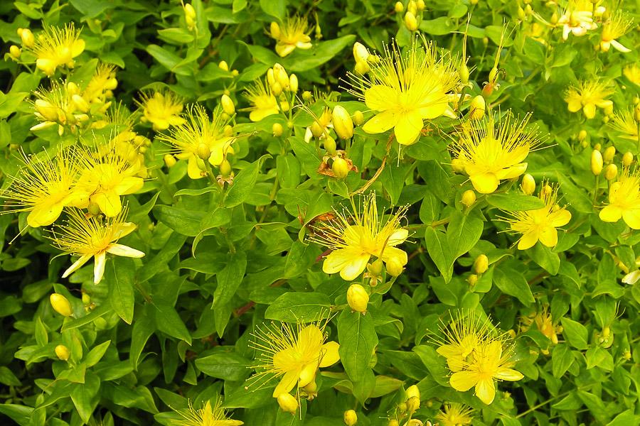 Zitronen-Johanniskraut_Hypericum hircinum