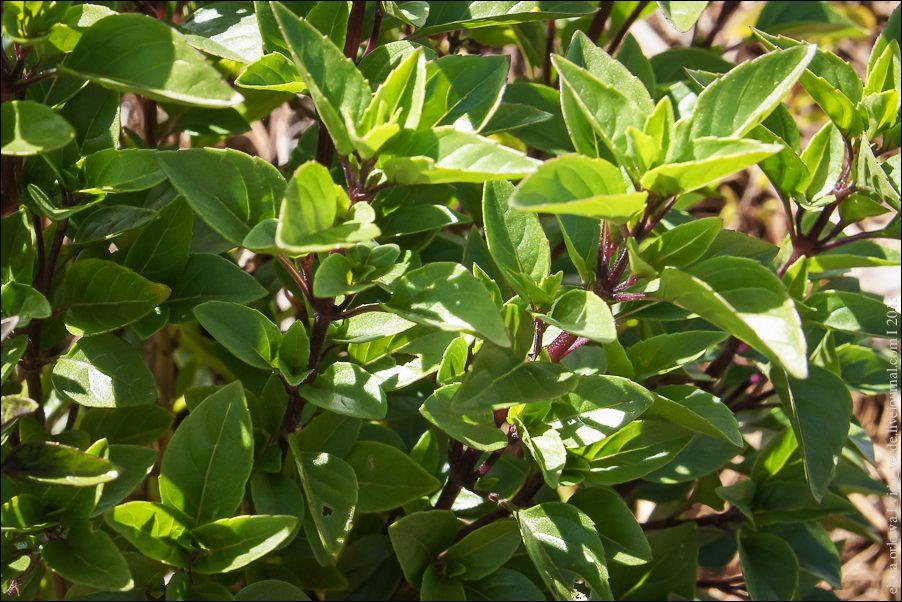 4.African Blue Basilikum (Ocimum gratissimum)-03994