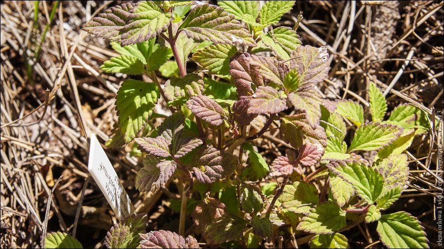 17.Липпия (Lippia dulcis)-04018
