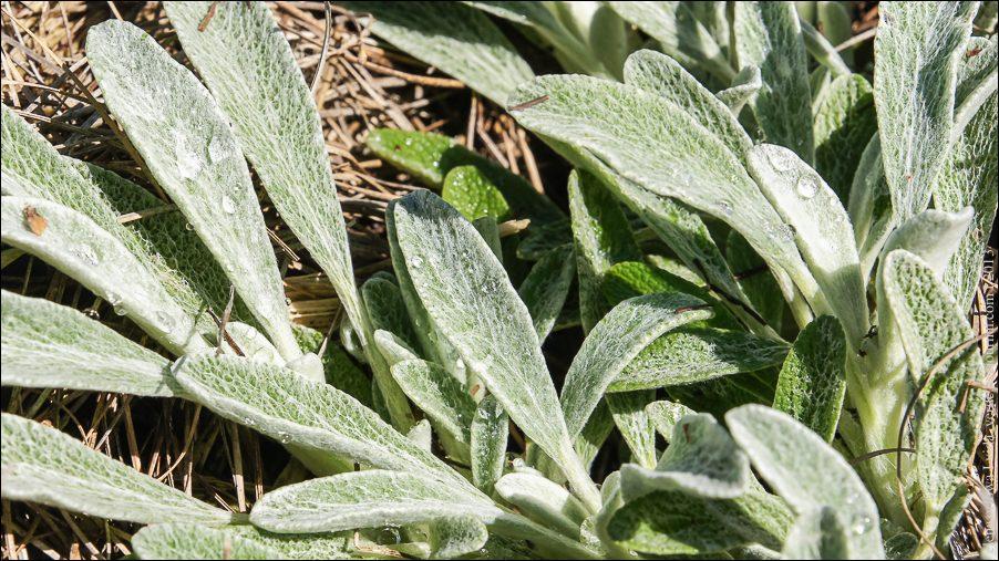18.Горный чай или железница сирийская (Sideritis syriaca)-04022