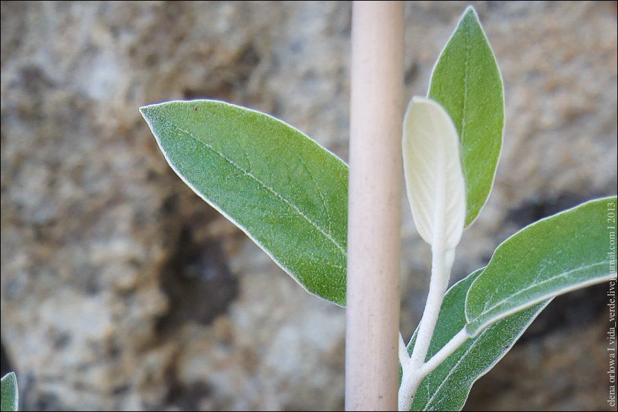 22.Peruanischer Salbei Salvia discolor-04020