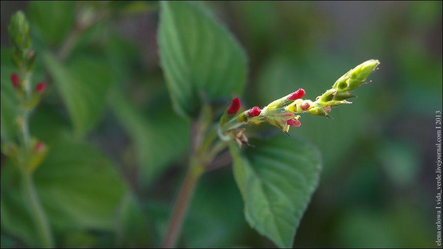 25.Honigmelonensalbei Salvia elegans-04028