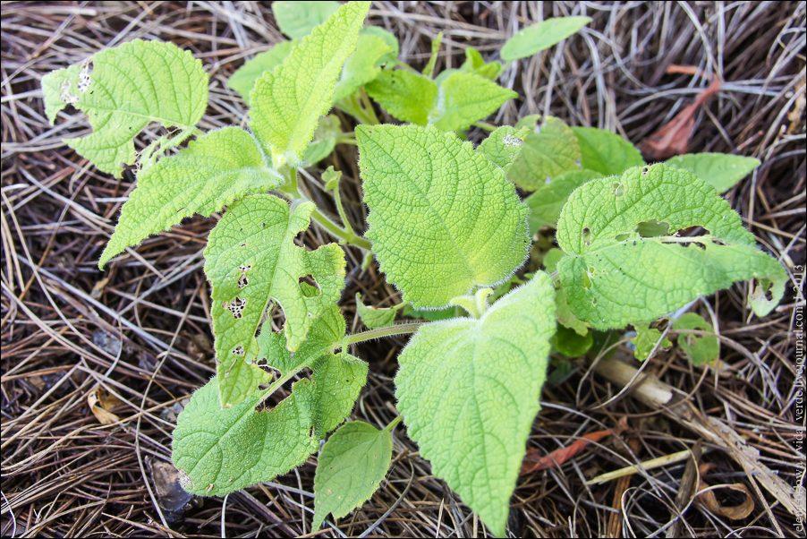 27.Fruchtsalbei Salvia dorisiana x-04078