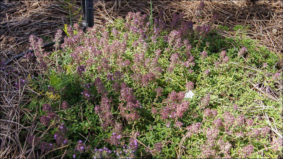 34.Bergamotte-Thymian Thymus chamaedrys-04035