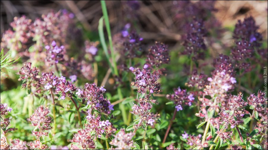35.Bergamotte-Thymian Thymus chamaedrys-04036