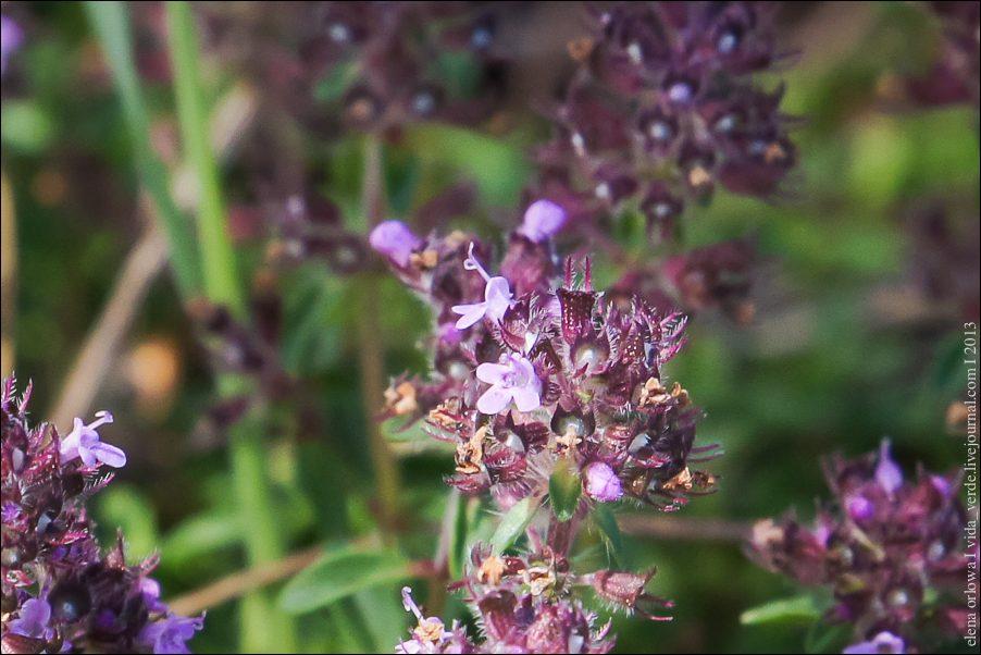 36.Bergamotte-Thymian Thymus chamaedrys-04037
