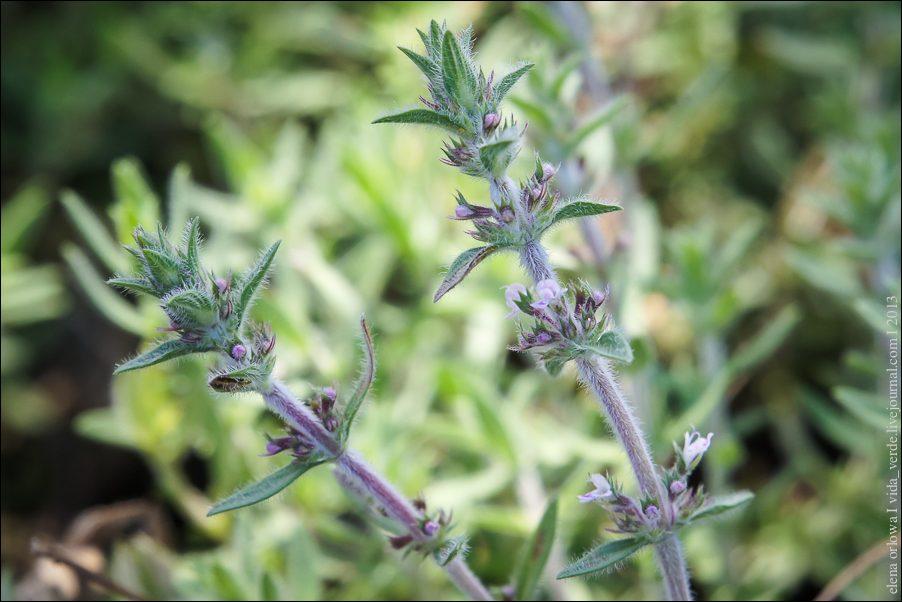 38.Rosenduftthymian  Thymus species-04039