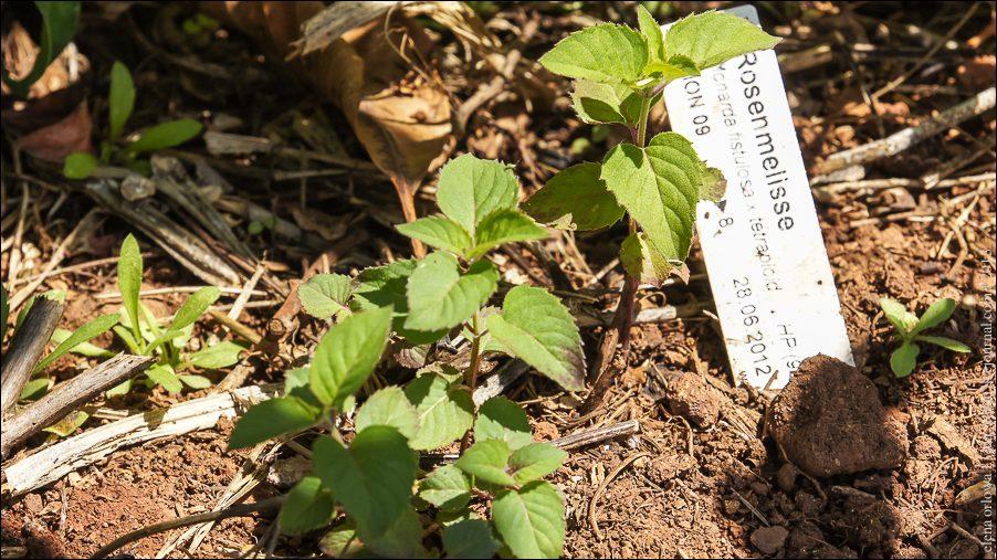 52.Rosenmelisse Monarda fistulosa x tetraploid-04106