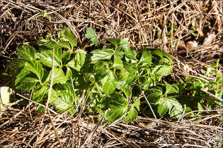 53.Джиаогулан или гиностемма пятилистна (Gynostemma pentaphyllum)-04095