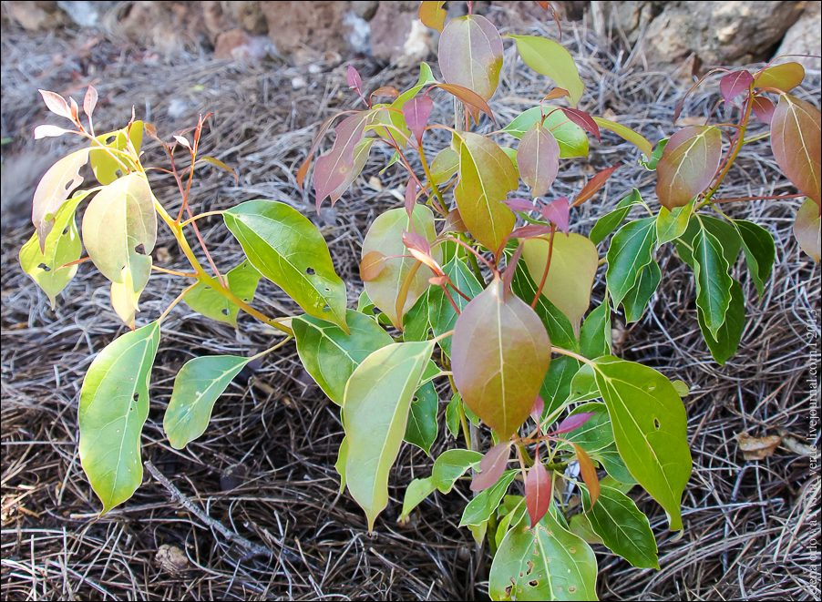 Kampferbaum Cinnamomum camphora-04075