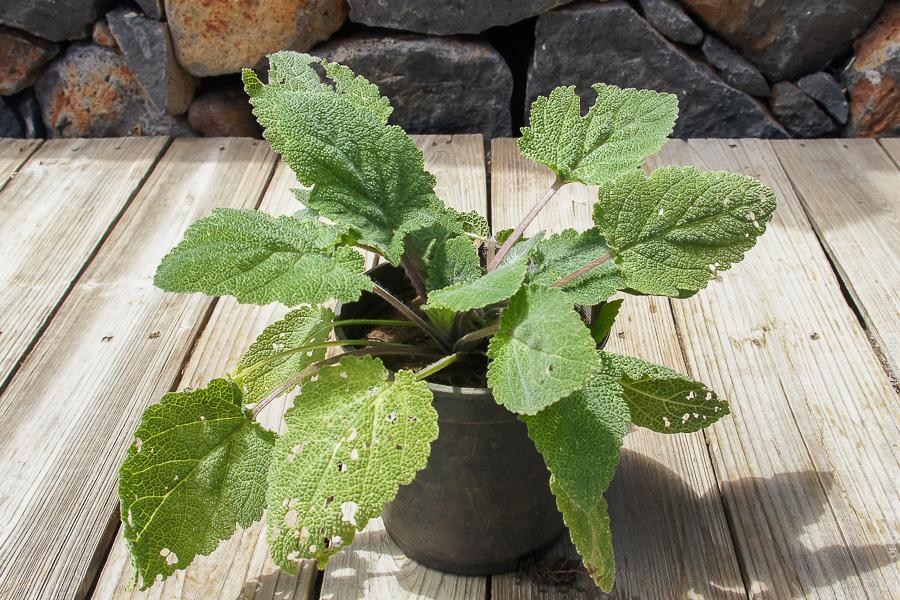 Шалфей мускатный–Salvia sclarea-04197