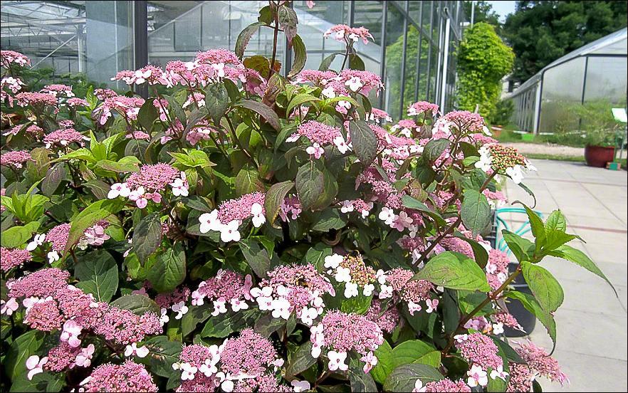 Japanische_Tee_Hortensie–Hydrangea serrata 'Oamacha'-