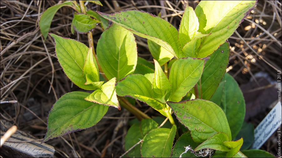 Japanische_Tee_Hortensie–Hydrangea serrata 'Oamacha'-03922