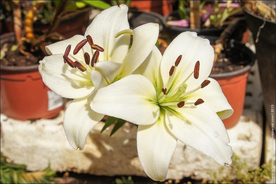 lilii-04598