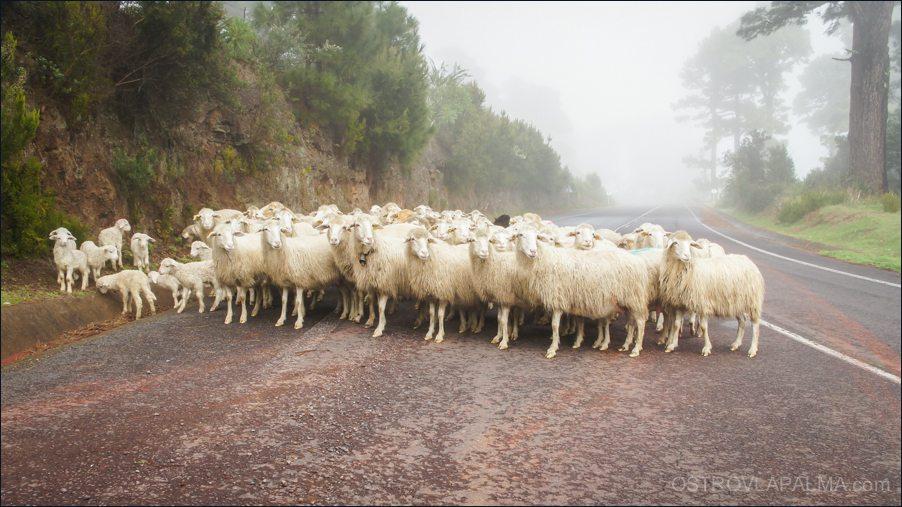 овцы-08688